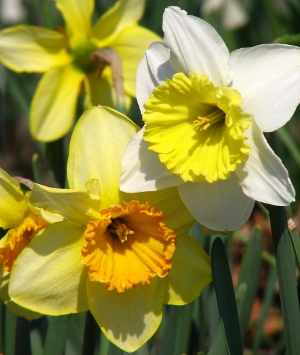 Another close-up of a daffodil