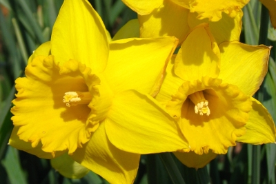Close-up of two yellow daffodils