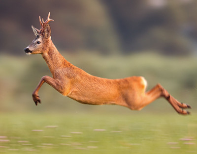 Leaping deer, a photo by jmrocek, under license from 123RF.com at https://www.123rf.com/profile_jmrocek
